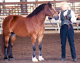 Lynda with GRAND Champion Cob - Glenhaven Welsh Atlanta in-hand at SWA Pony Classic '99