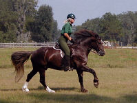 Solstice Chivas Regal under saddle at a canter in the front pasture.